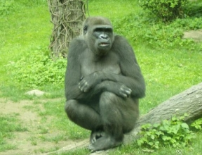 Bronx zoo silver back female